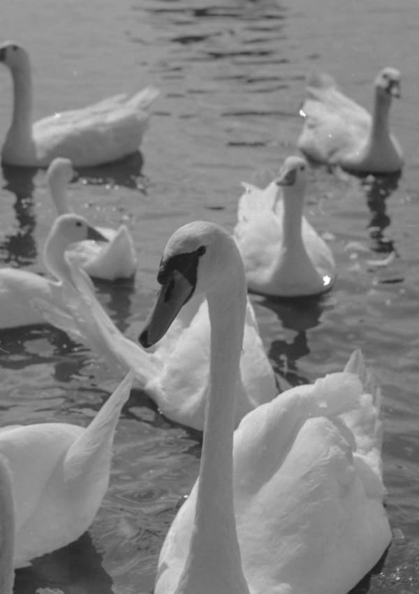 Thamesmead-Texas-Swans,-35mm-film-taken-by-Liam-Scully.jpg
