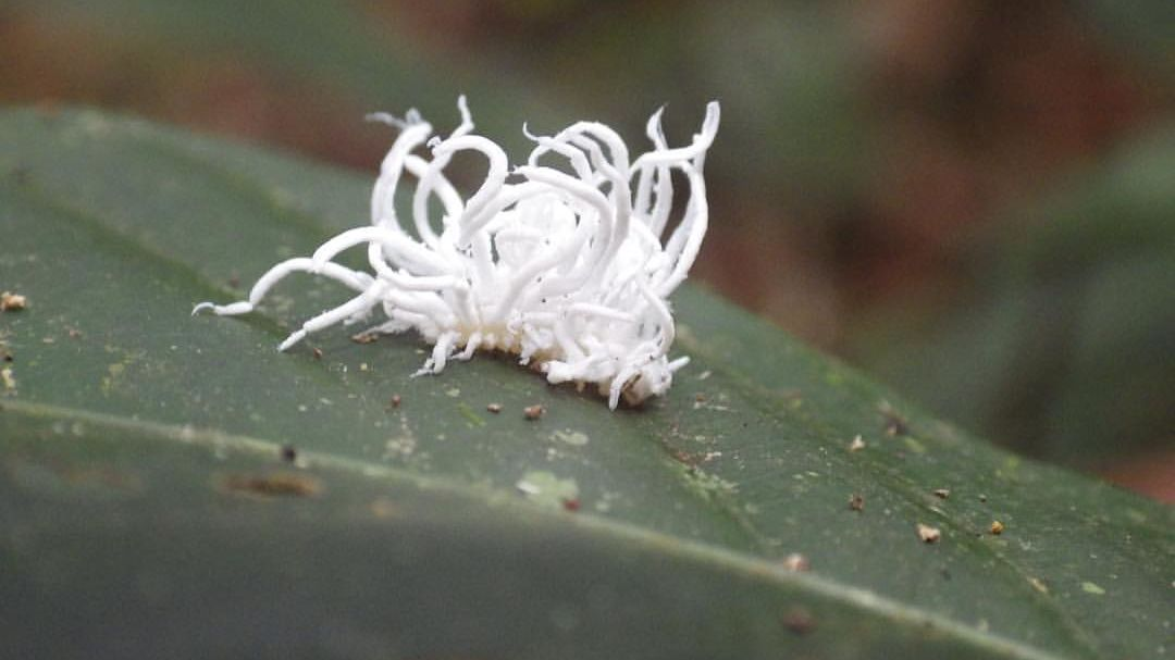 Image of amazon white plant urchin called a leaf hopper nymph