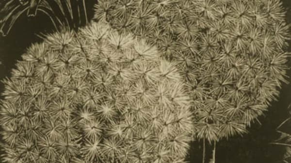 A dandelion wood engraving