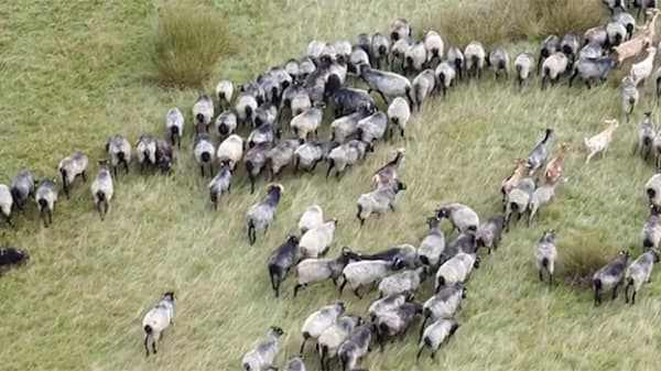 A still from a documentary film showing a birds-eye-view of wildebeests running across a plain
