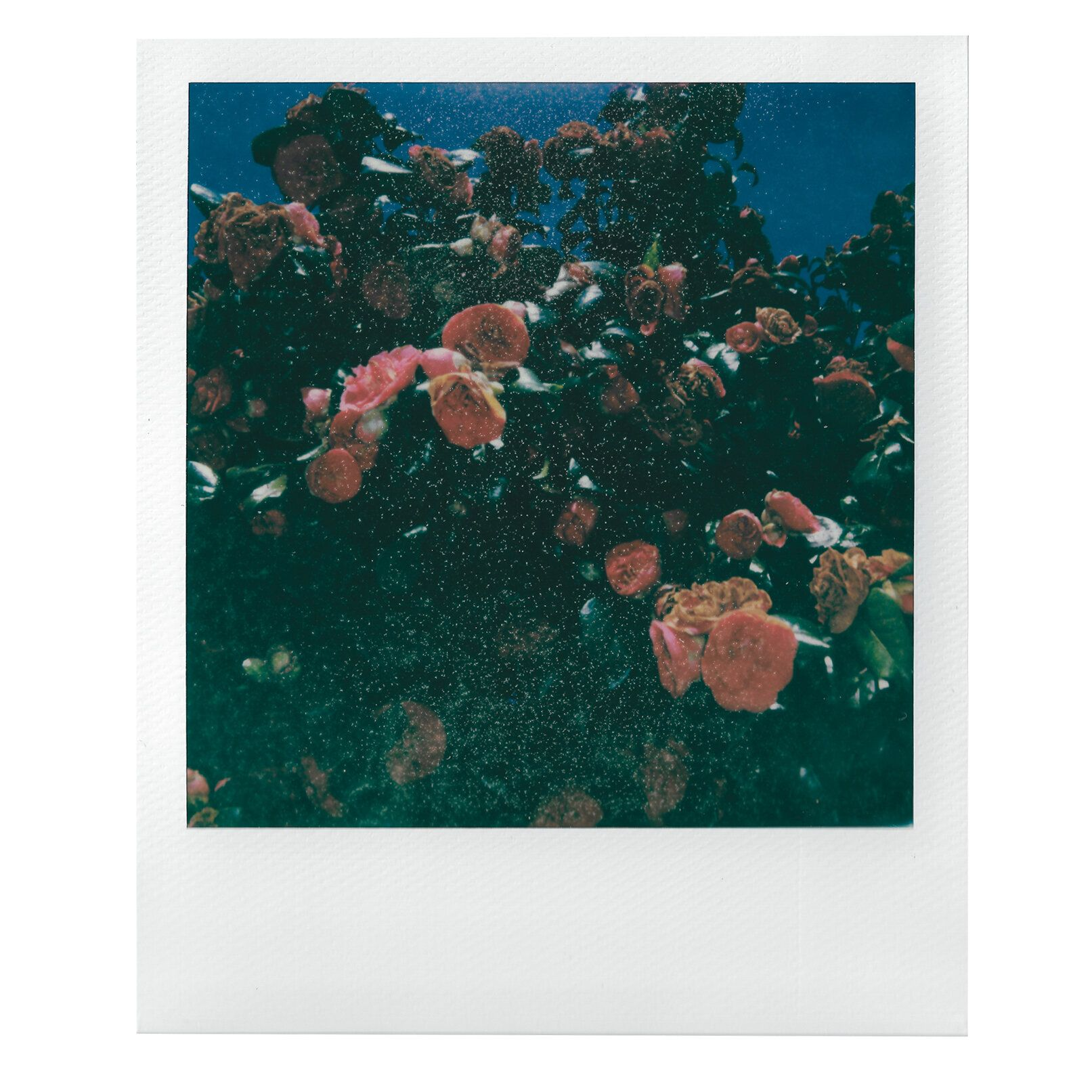 Polaroid image of a rose bush