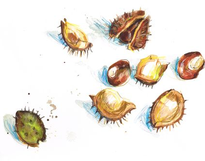 Illustration of conkers and conker shells.