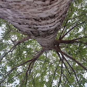 Photograph of a tree from the bottom looking up into the branches