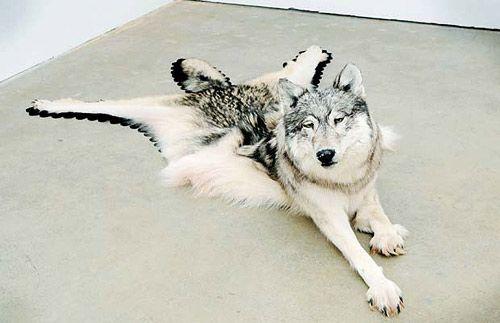 A texidermy dog in gallery: 'Inert'  by Nicholas Galanin (2009)