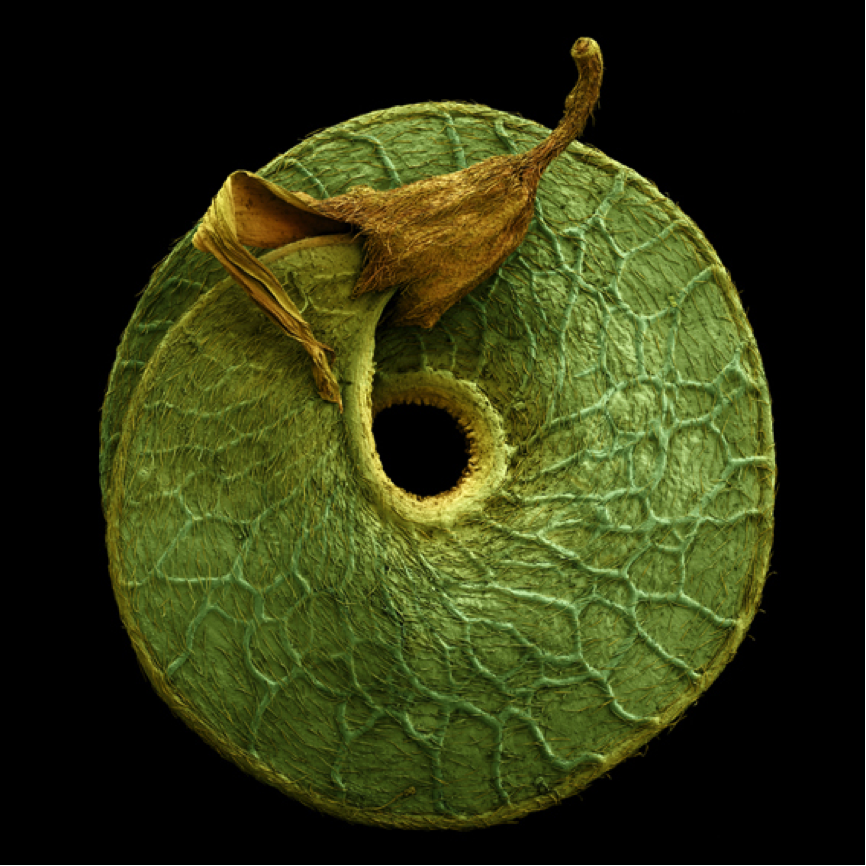Image of Medicago seed by Rob Kesseler